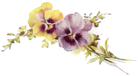 Pansy 1909