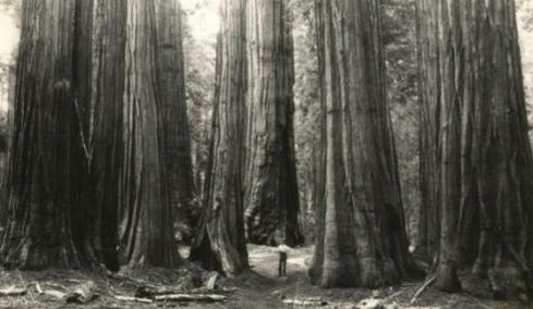 Giant California Sequoias.