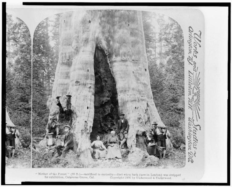 A giant Sequoia in nearby Calaveras Grove, California; 1902.