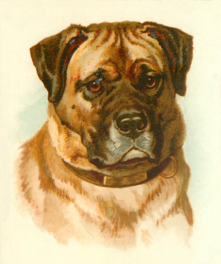 mastiff-front
