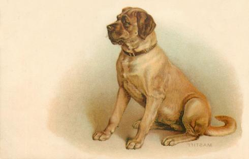 mastiff-full-left-facing